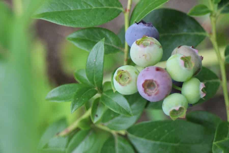 Piante da frutta nane adatte per ogni ambiente esterno for Piante da frutto nane