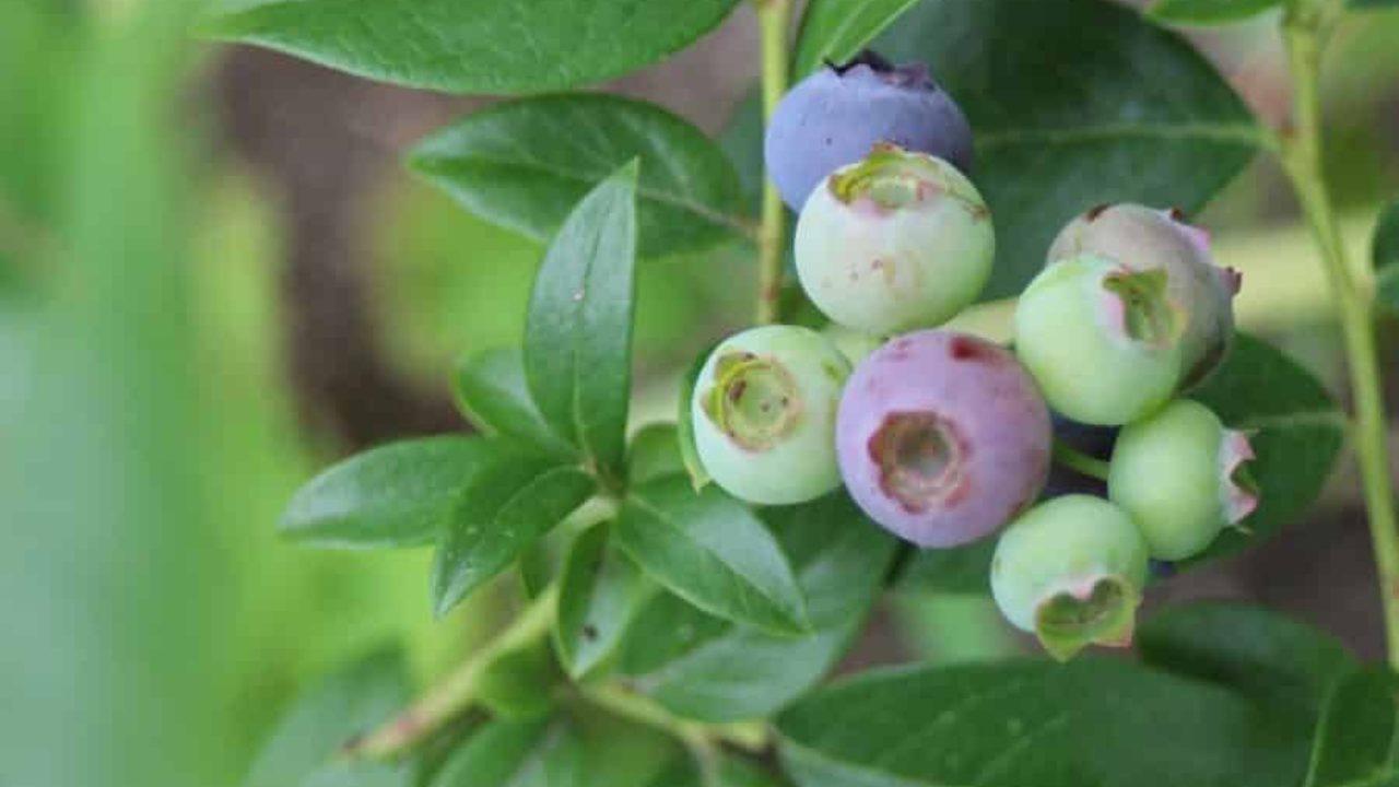 Piante Da Frutto Nane piante da frutta nane: adatte per ogni ambiente esterno